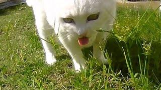 Кошка ест траву My cat eating grasses 草を食べる猫