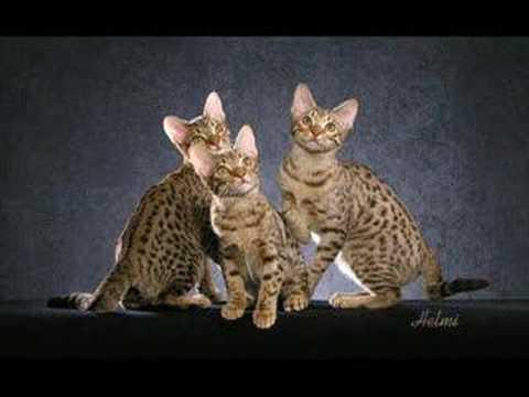 The Ocicat - an informational video