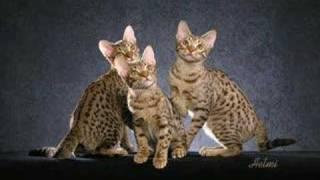 The Ocicat  an informational video