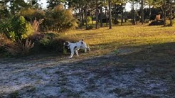 Florida Brittany Rescue fosters FBR0112 Kya and FBR0113 Bruce