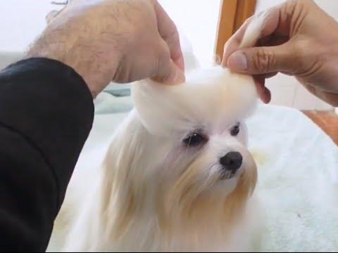 PERROS - Peluquería canina. ¿Cómo peinar a un Bichón Maltés? Arreglos en casa y en la peluquería.