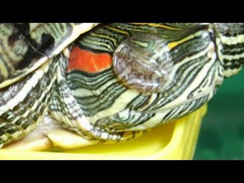 Как лечить опухшие глаза у красноухой черепахи. Черепашка поправилась! /2 часть