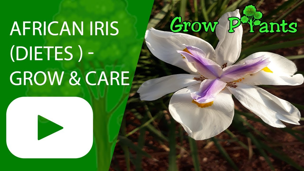 African Iris Growing And Care Dietes Youtube