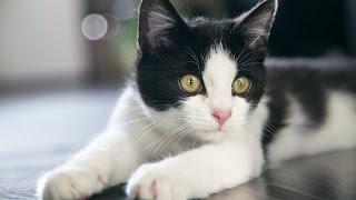 ASMR АСМР: Звук кошки, мурлыканье кота. The sound of a cat, purring cat.