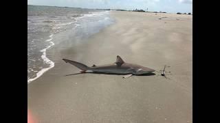Drone fishing Texas - 3' Blacktip Shark caught at the Texas City Dike June 2018