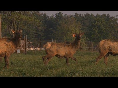 Wildlife Lakes Elk Farm, Burlington, Iowa