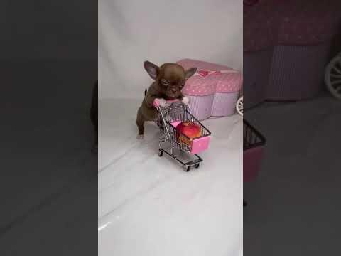 чихуахуа купить щенка продажа цена москва