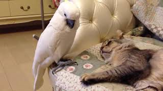 Parrot and cat,animal,pet,Funny video