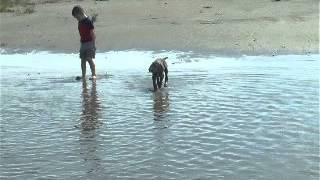 Jamie The Weimaraner Puppy Running With The Kids At The Beach