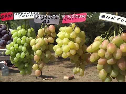 Сорта винограда. Выставка в Новочеркасске 2017