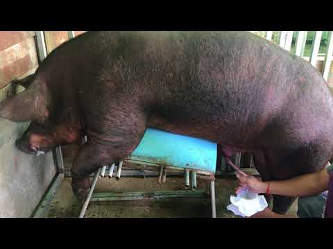 Collecting Semen From a boar