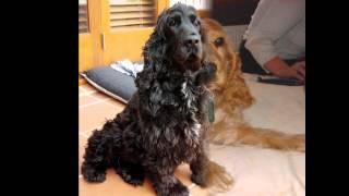 Кокер-Спаниель/Cocker Spaniel (порода собак HD slide show)!