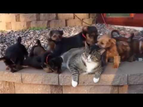 puppies attack cat
