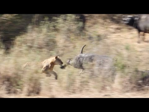 LIONS Hunt BUFFALO (Kambula pride)