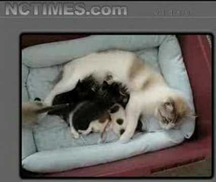 Amazing Mommy Cat Nurses Rejected New Born Chihuahua