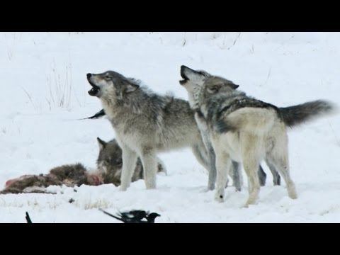Earth Focus Episode 51 - Shades of Gray: Living with Wolves