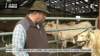 ANIMAUX : En Saône-et-Loire, les vaches ont droit à leur pédicure