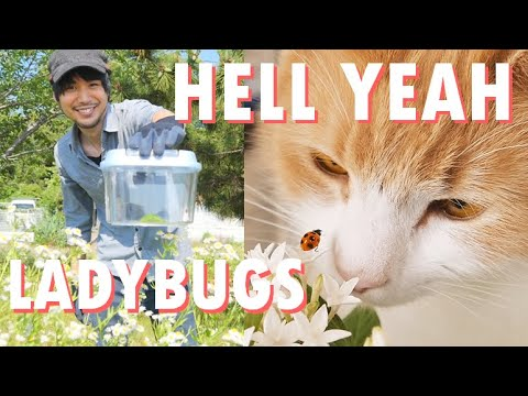 Kidnapping ladybugs from public Japanese parks