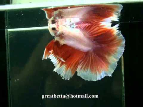 { Sold out } Betta Splendens : (1010-65) Pinky Butterfly Moon HM DTM.mp4