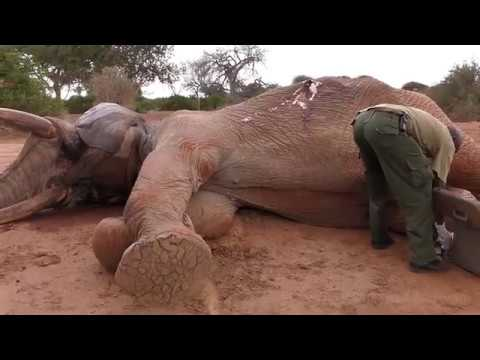 Wildlife Medics - Speared Elephant Rescue - Kenya