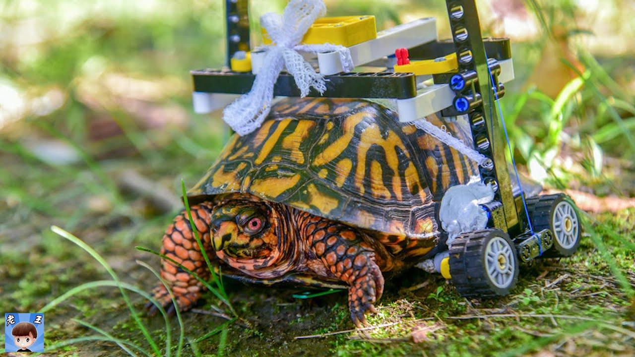 主人給天生殘疾的烏龜裝上輪子,還成了網紅 | 通過假肢重獲新生的殘疾動物們