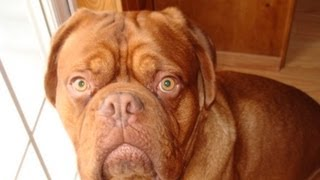 Dogue De Bordeaux Singing With Tornado Sirens (1 Year Cute)