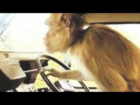 Zim man uses baboon to drive his truck,juju