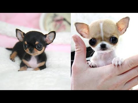 Most Adorable Teacup Chihuahua Compilation Video Ever