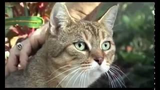 Pixie  Bob Cats 101