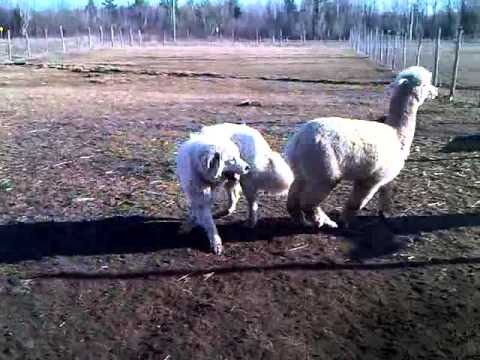 Alpaca playing and tackling a 150lb Great Pyrenees
