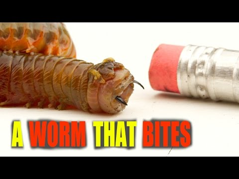 A Worm That BITES! Grosses Worm On The Planet - The Rag Worm / Sea Worm