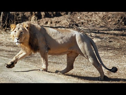 Asiatic lion rescued from well