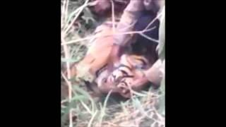 Sumatera Tiger Killed.mp4