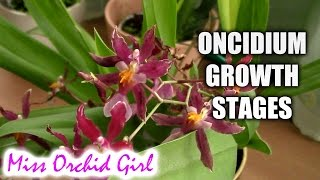 Growth stages of Oncidium Orchids