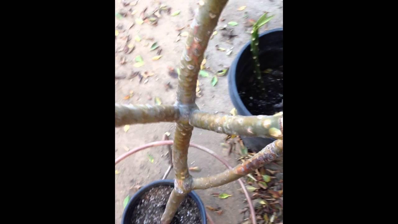 Plumeria Plant Winter