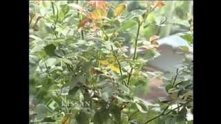 Cultivation practices of Rose : റോസിന്റെ കൃഷിപ്പണികള്