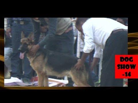 Ajmer Dog Show अजमेर डॉग शो , German Shepherd ( Alsatian ) Puppy Winner In KC Show