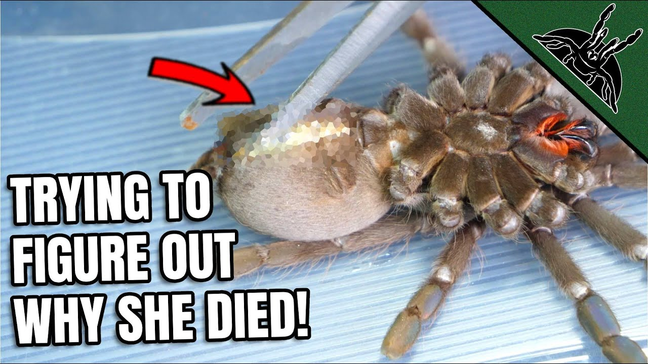 SPIDER AUTOPSY...now I know why she died!