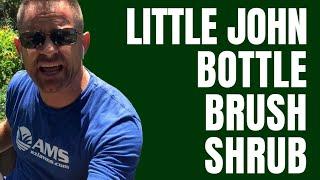 Little John Shrub or Bottlebrush Bush