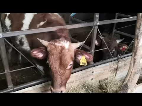 Стойло для быков своими руками фото