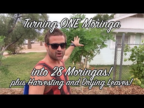 Ep 96 - Turning ONE Moringa into 28 Moringas!