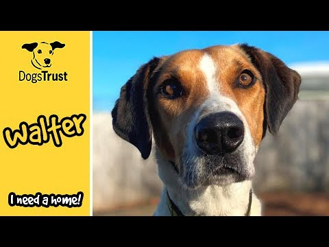 Walter the harrier loves to go on adventures! | Dogs Trust Loughborough
