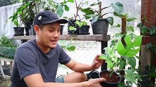 แนะนำ rhaphidophora tetrasperma หรือ มอลจินนี่ - สวนข้างบ้านฉัน ep98