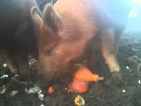 Manna Organic Farm Pigs
