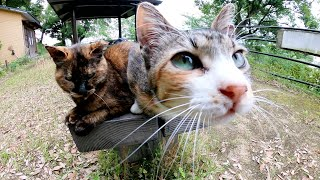 サビ猫をモフろうとすると嫉妬深い三毛猫が乱入してきた