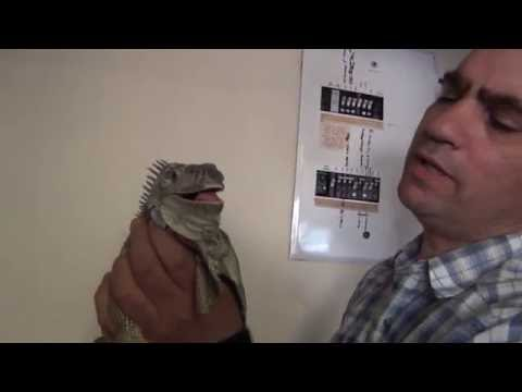 Dangerous biting iguana
