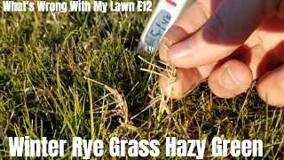 Winter grass is hazy green. Arizona winter rye grass not turning green. Overseeding winter rye grass