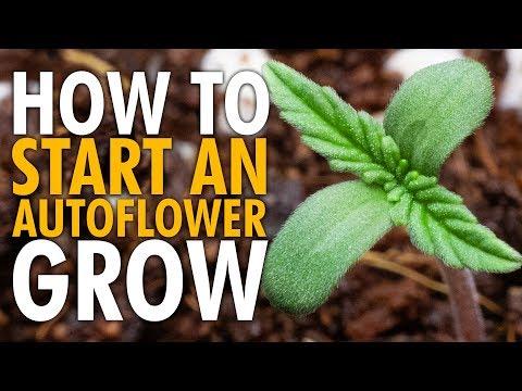 How to Start an Autoflower Grow Beginners Guide