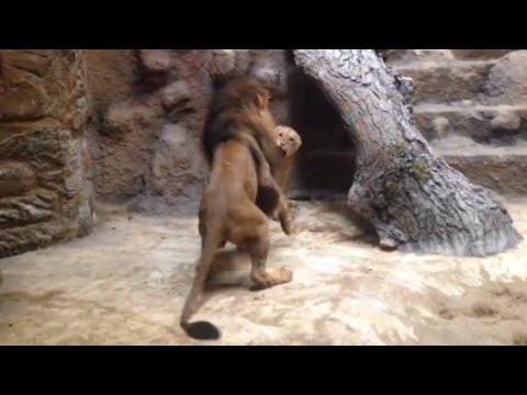 Szok! Lwica zagryziona na oczach świadków w gdańskim zoo