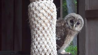 山口県防府市の八幡宮に、毎朝、フクロウが現れ、愛くるしい姿で参拝者...